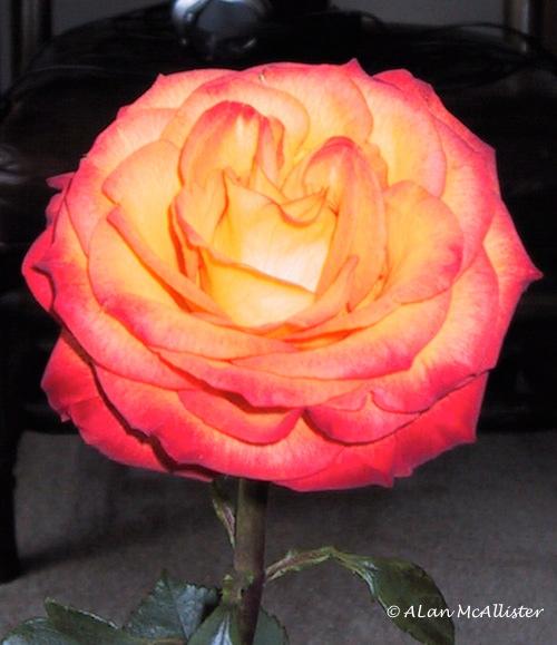 magic of roses